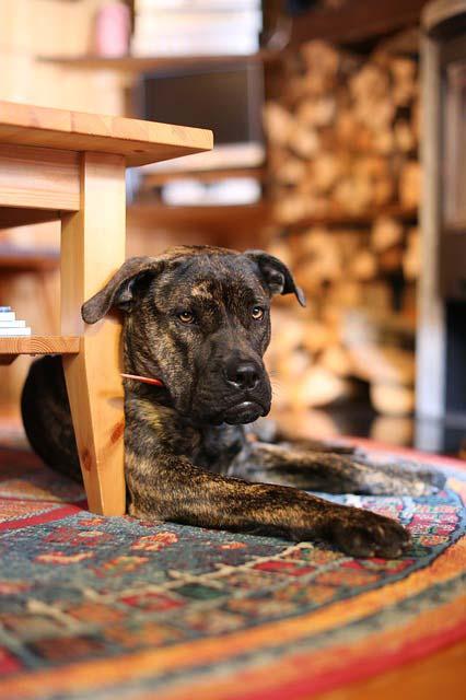 Mastif tybetański, czyli pies uwielbiający ogród